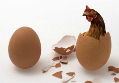 Rešena najveća dilema: Šta je starije, kokoška ili jaje?