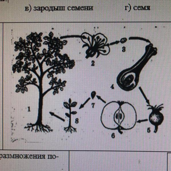 какой цифрой обозначена орган цветкового растения, в ...