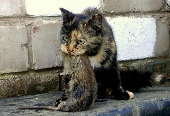 domáce čierne korisť trubice prstoklad jej tesnej mačička
