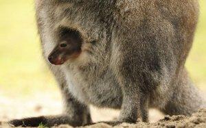 В Каунасском зоопарке -- первый кенгурёнок за 20 лет