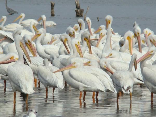 Стая Американских белых пеликанов - фото и обои. Картинка ...