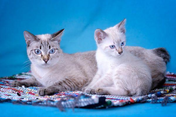 Два кота породы Меконгский Бобтейл - фото и обои. Красивая ...
