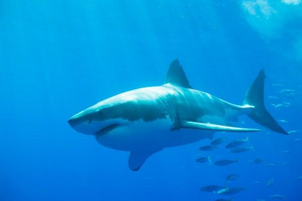 Путешествующая Белая акула фото и обои Красивая