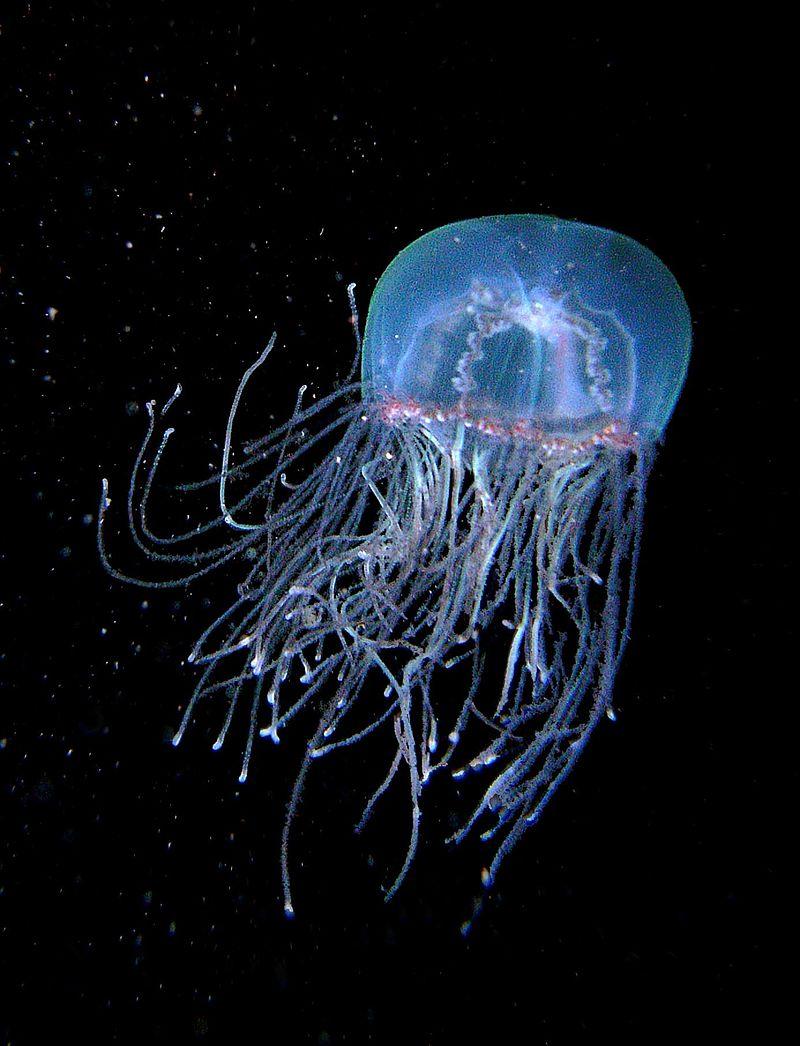 картинки самой ядовитой медузы перроне завербовали