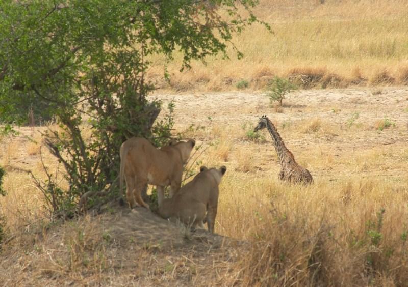 Giraffe Hunt