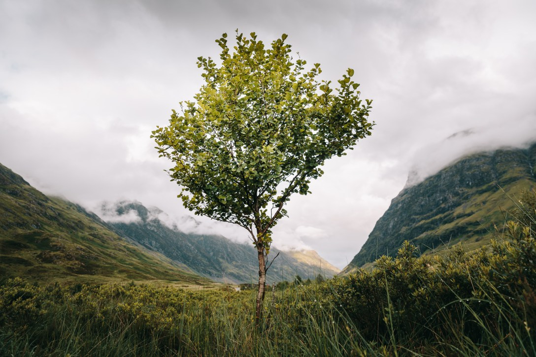 Glencoe tree