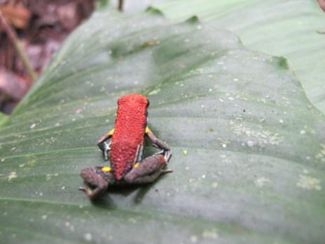 Poison dart frog (Ameerega sp.)