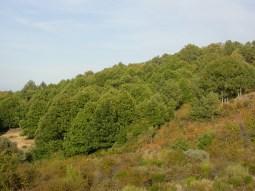 Sierra de San Vicente - Castanea sativa