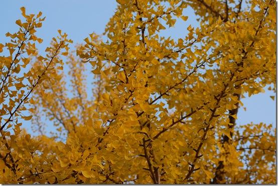 листья Гинко