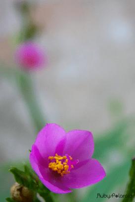 purple flower blur by rubys polaroid