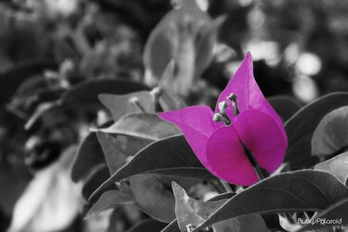 blurred pink bougainvillea monochrome by rubys polaroid