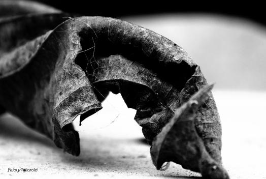 Twisted brown Leaf Monochrome by rubys polaroid