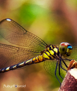 Yellow dragonfly 2 by rubys polaroid