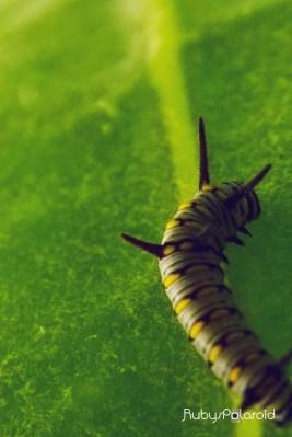Caterpillar 3 by rubys polaroid