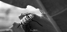 Caterpillar and leaf 2 monochrome by rubys polaroid