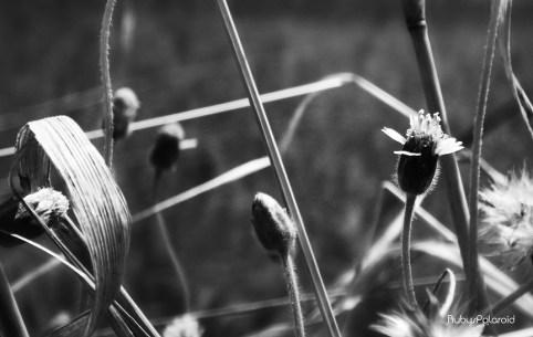 Wild flower monochrome by rubys polaroid