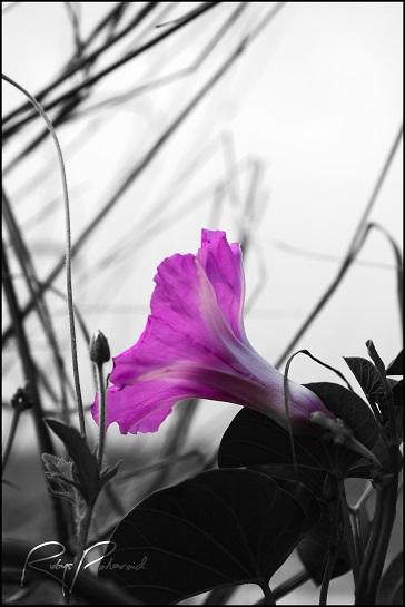Purple Haze 2 by rubys polaroid