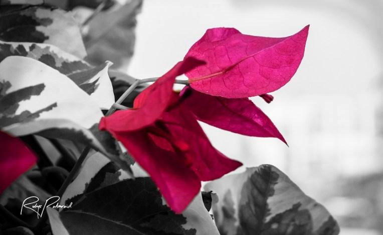 pink flower pop bw by rubys polaroid