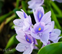 Water Hyacinth Flower 4 by rubys polaroid