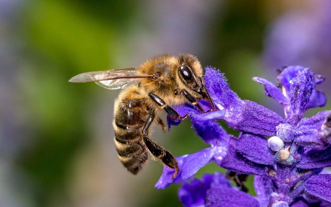 abeille le rucher du marandou dordogne Périgord Abeille Rucher du Marandou miel ruche apiculture fleur dordogne périgord bienvenue à la ferme