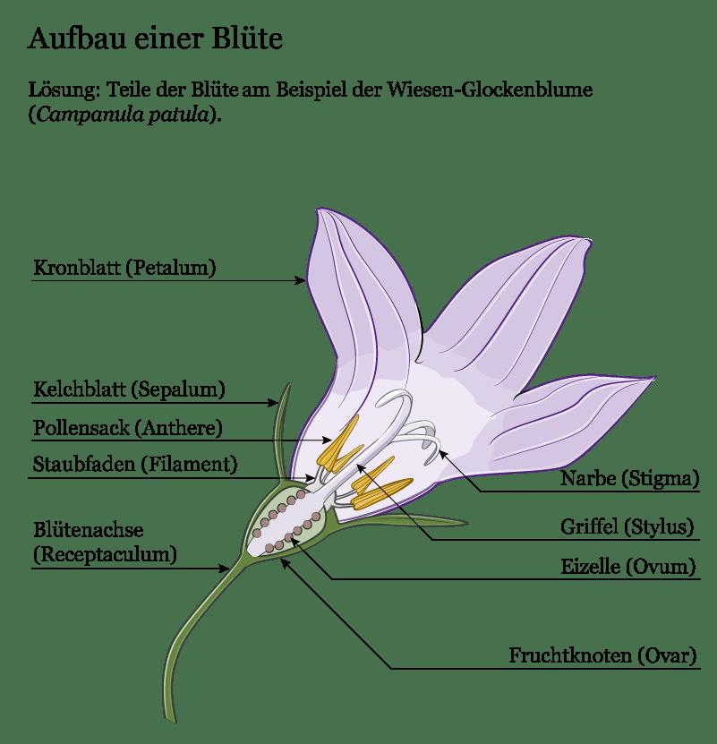 Anatomischer Querschnitt der Blüte