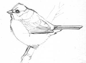 song sparrow sketch