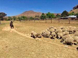 Schafe Lesoto