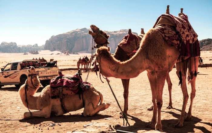 Wielbłądy na Wadi Rum