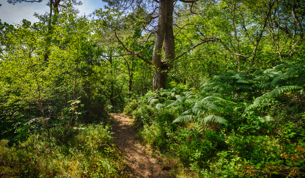 woodland walk, highlands, Rudha Mor walk, Plockton, Scots Pine, bracken,