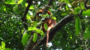 We saw a marron monkey hiding in the trees