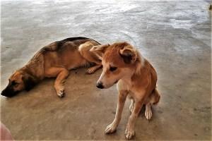 dogs on Tonga