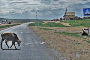 Kuh auf der Straße in der Mongolei