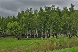 Birch Forest / Birkenwald