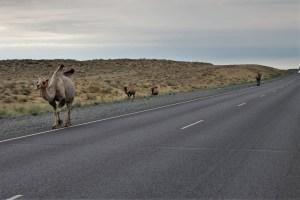 Camels in Kazakhstan