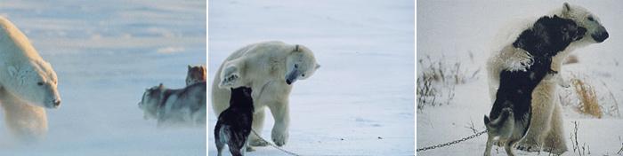 bear-husky3
