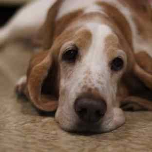 Basset hound apartment friendly