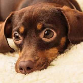 Chiweenie apartment friendly dog breed