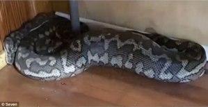 3FC44B5200000578-4459742-A_2_5_metre_python_fell_through_the_roof_of_a_Rockhampton_gym_la-m-2_1493533928583