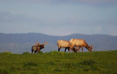 Tule elk bulls3 (1 of 1)