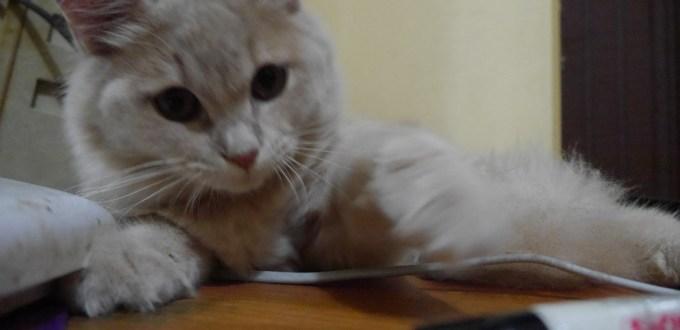 Apa Perawatan Pasca Steril Kucing?