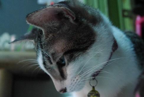Vaksin untuk Kucing