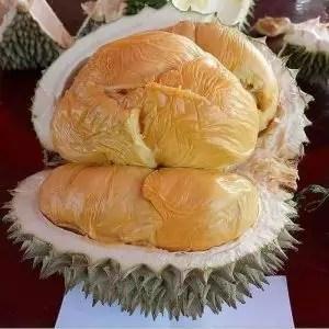 harga bibit durian hitam