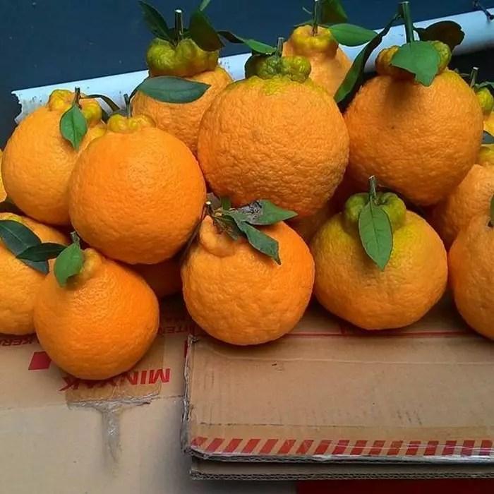 harga bibit jeruk dekopon