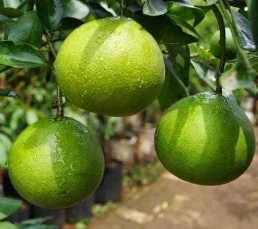 jual bibit jeruk sunkist