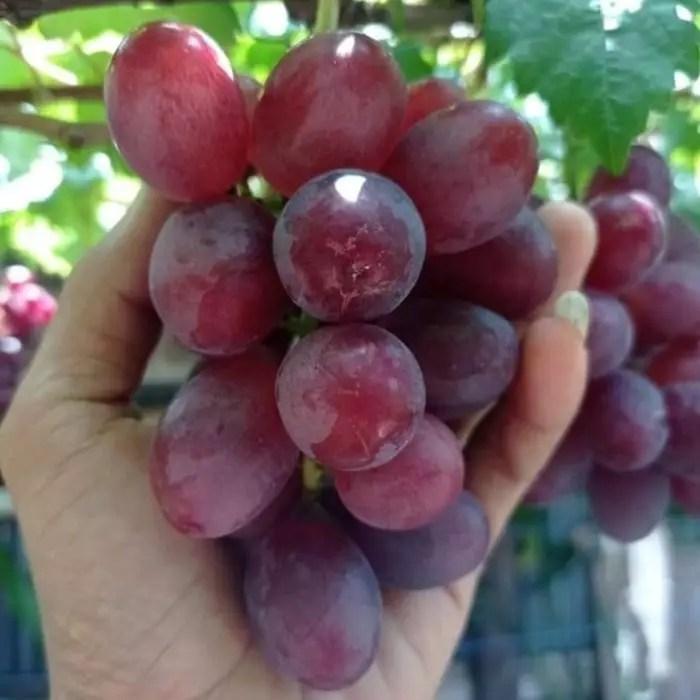 Bibit-Pohon-Anggur-Ninel