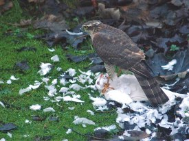 sparrowhawk-small-3