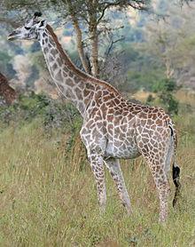 Animal Drawing: Giraffe