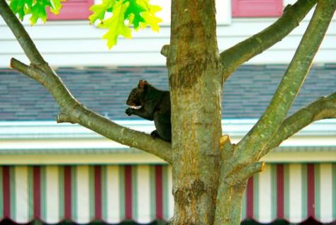 Uncommon sighting of a black squirrel in Fair Haven Photo/Elaine Van Develde