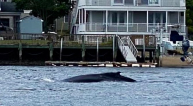 Whale of a Shrewsbury River Sighting