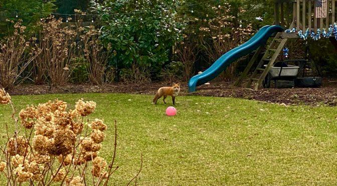 Scene Around: Foxy Playmate
